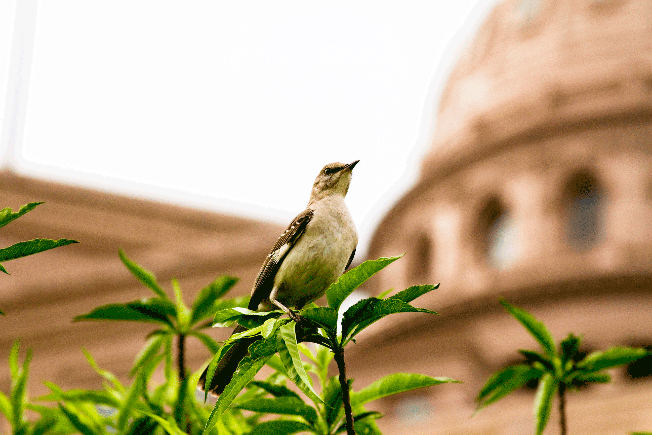 Picture of mockingbird perched on a branch with the capitol dome in the background